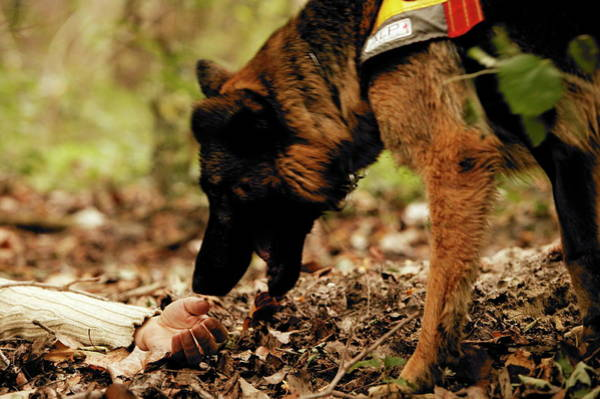 Service Dog Photograph - Sniffer Dog by Mauro Fermariello/science Photo Library
