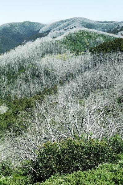 Eucalyptus Photograph - Snow Gum Trees After A Forest Fire by Dr Jeremy Burgess/science Photo Library