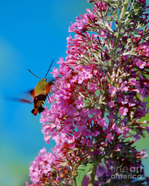 Photograph - Snowberry Clearwing Hummingbird Moth by Mark Dodd