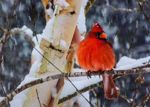 Snowbird  Art Print