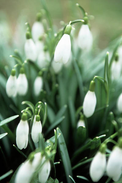 Snowdrops Wall Art - Photograph - Snowdrop (galanthus Elwesii) by Rachel Warne/science Photo Library