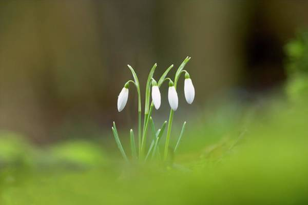 Snowdrops Wall Art - Photograph - Snowdrops by Simon Booth/science Photo Library
