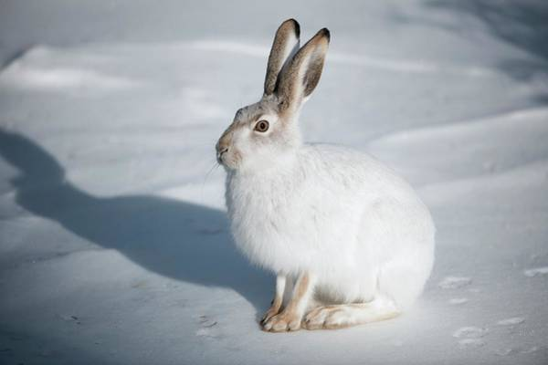 Snowshoe Photograph - Snowshoe Hare by Dr P. Marazzi/science Photo Library