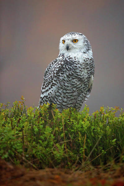 Wall Art - Photograph - Snowy Owl by Milan Zygmunt