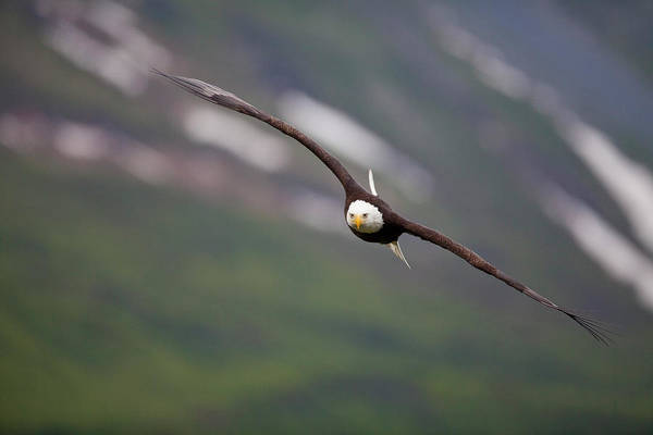 Wall Art - Photograph - Soaring Bald Eagle by Tim Grams