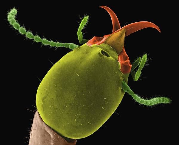 Subterranean Photograph - Soldier Termite by Dennis Kunkel Microscopy/science Photo Library