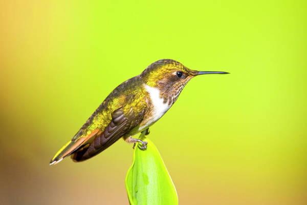 Selasphorus Photograph - South America, Costa Rica, San Gerardo by Jaynes Gallery