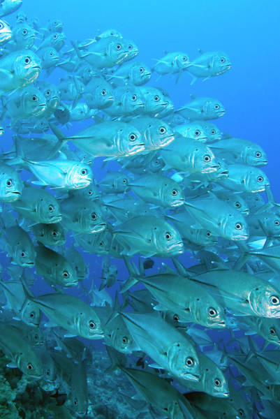 Trevally Photograph - South Pacific, Solomon Islands, Meri by Jaynes Gallery