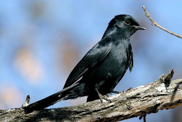 Wall Art - Photograph - Southern Black Flycatcher by Peter Chadwick/science Photo Library