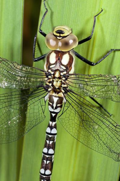 Odonata Photograph - Southern Hawker Dragonfly by Bob Gibbons
