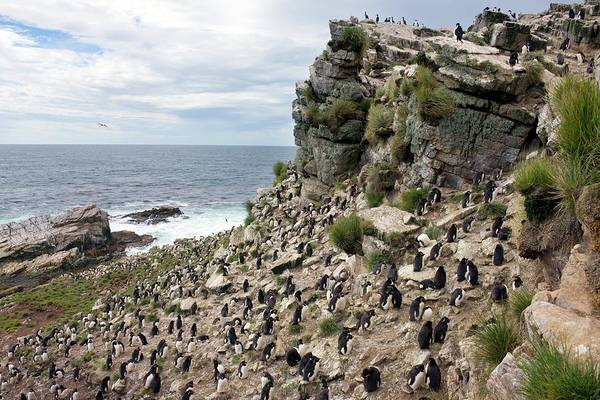 Wall Art - Photograph - Southern Rockhopper Penguin Colony by Steve Allen/science Photo Library