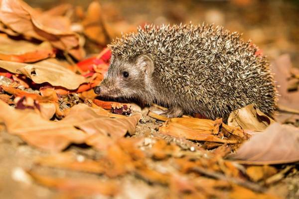 Hedgehog Photograph - Southern White-breasted Hedgehog by Photostock-israel