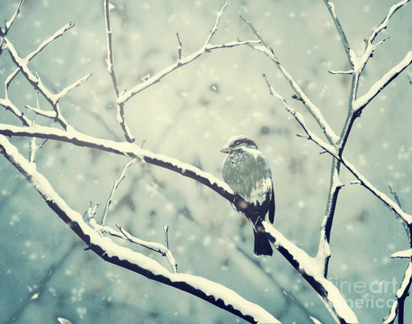 Photograph - Sparrow On The Snowy Branch by Jelena Jovanovic