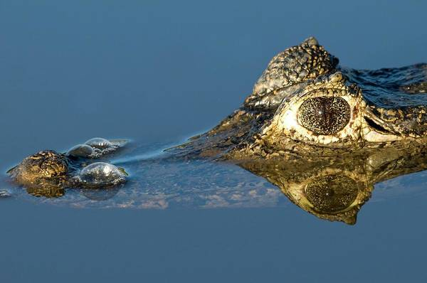 American Crocodile Photograph - Spectacled Caiman In A River by Tony Camacho/science Photo Library
