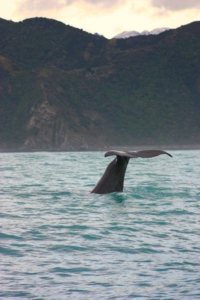 Cachalot Wall Art - Photograph - Sperm Whale Diving  by Amanda Stadther