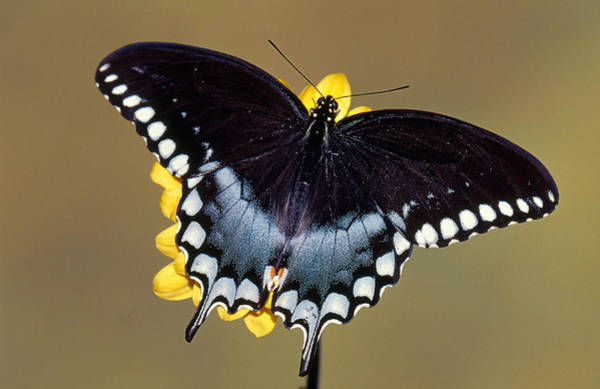 Duval County Photograph - Spicebush Swallowtail Butterfly by Millard H Sharp