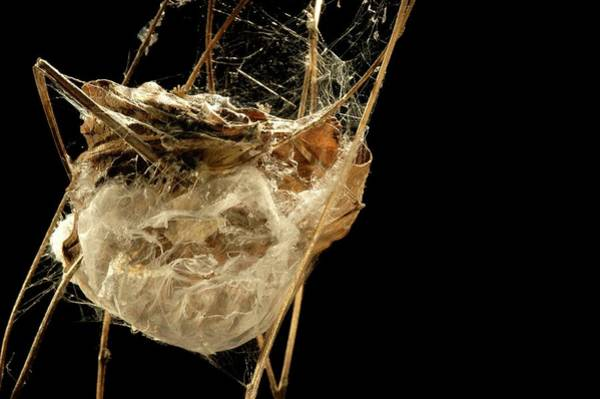 Wall Art - Photograph - Spider Nest by Thierry Berrod, Mona Lisa Production/ Science Photo Library