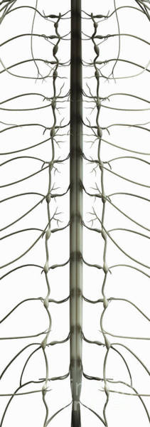 Photograph - Spinal Cord by Science Picture Co