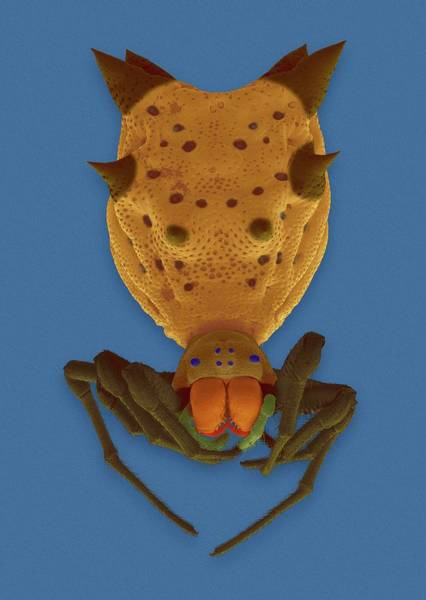 Orb Weaver Photograph - Spined Orb Weaver (micrathena Gracilis) by Dennis Kunkel Microscopy/science Photo Library