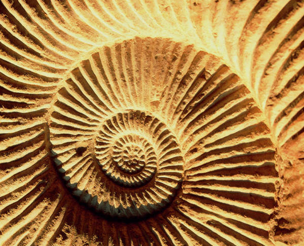Sahara Photograph - Spiral Shape Of A Fossilised Ammonite Shell by Martin Bond/science Photo Library