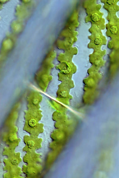 Filamentous Algae Wall Art - Photograph - Spirogyra Algae by Sinclair Stammers/science Photo Library
