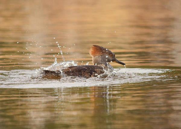 Fowl Photograph - Splash by Susan Capuano