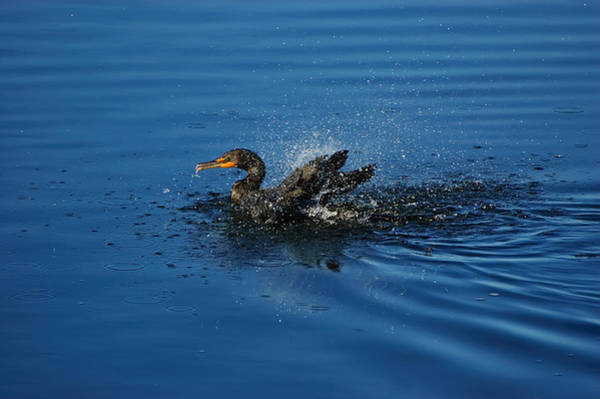 Phalacrocorax Auritus Wall Art - Photograph - Splashing Cormorant by Rich Leighton