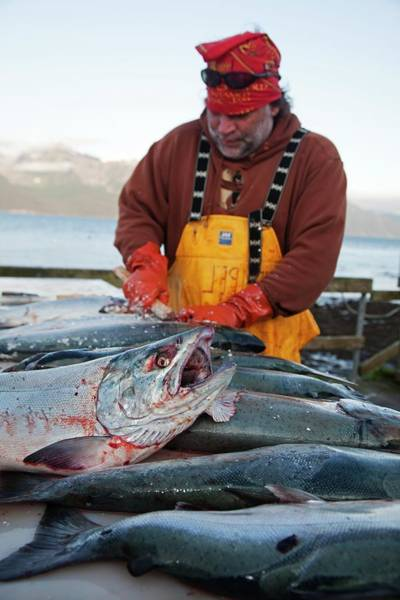 Gulf Of Alaska Photograph - Sport Fishing Catch by Jim West
