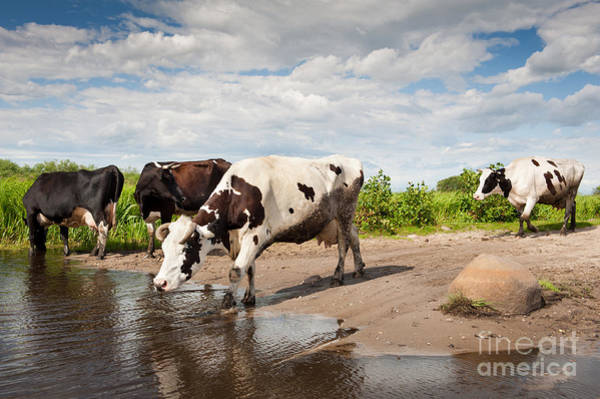 Live Stock Photograph - Herd Of Cows Walking Across Puddle  by Arletta Cwalina