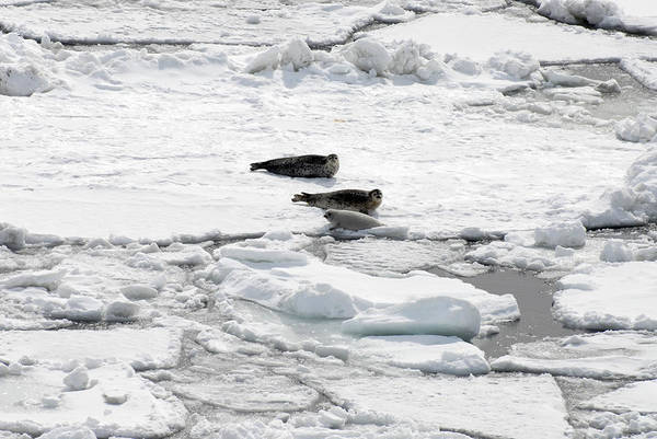 Wall Art - Photograph - Spotted Seal Family by Carleton Ray