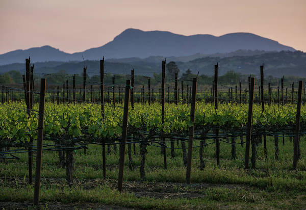 Photograph - Spring Arrives Early In California Wine by George Rose