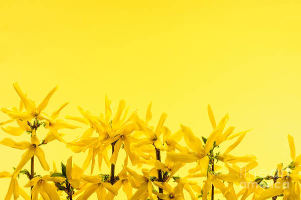 Wall Art - Photograph - Spring Yellow Forsythia  by Elena Elisseeva