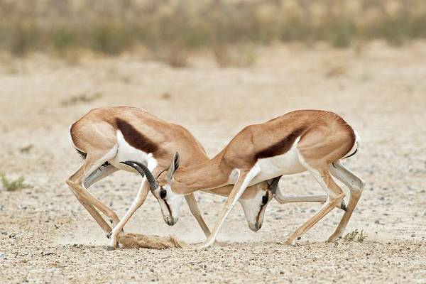 Behaviour Photograph - Springbok Males In Territorial Combat by Tony Camacho