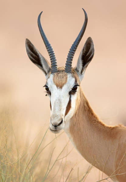 Chewing Wall Art - Photograph - Springbok Portrait by Johan Swanepoel