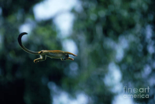 Squirrel Monkey Wall Art - Photograph - Squirrel Monkey by Gregory G. Dimijian, M.D.