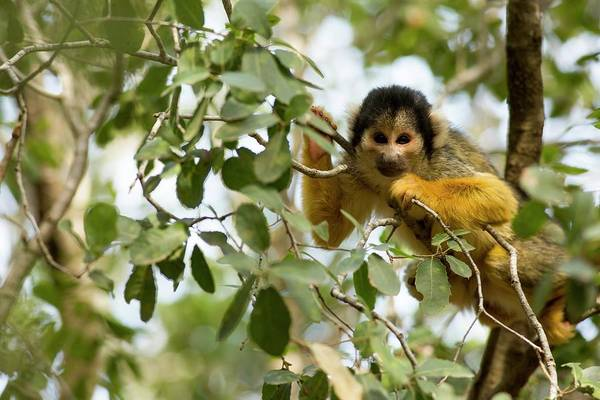 Squirrel Monkey Wall Art - Photograph - Squirrel Monkey by Photostock-israel