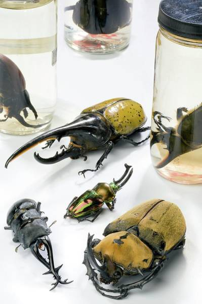 Wall Art - Photograph - Stag Beetle Specimens by Stephen Ausmus/us Department Of Agriculture/science Photo Library