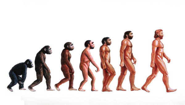 Prehistory Photograph - Stages In Human Evolution by David Gifford