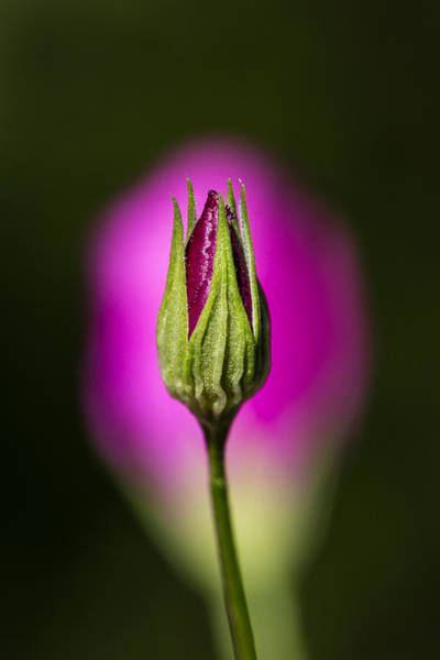 Photograph - Standing Winecup Bud And Flower by Steven Schwartzman