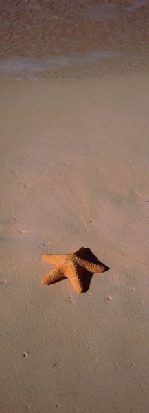 Wall Art - Photograph - Starfish On The Beach, Bahamas by Animal Images