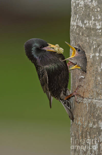 Photograph - Starling And Young by Anthony Mercieca