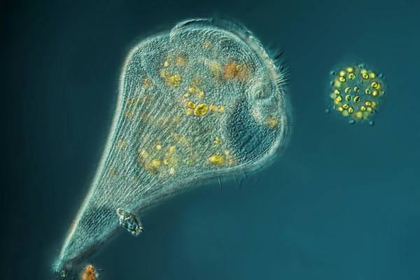Light Microscope Wall Art - Photograph - Stentor Protozoan by Frank Fox
