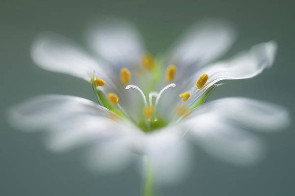 Blur Wall Art - Photograph - Stitchwort by Mandy Disher