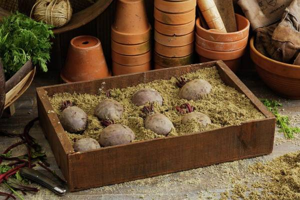 Beetroot Wall Art - Photograph - Storing Beetroots In Damp Sand by Geoff Kidd