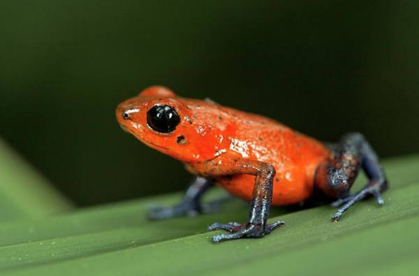 Poison Dart Frog Photograph - Strawberry Poison Frog by Nicolas Reusens