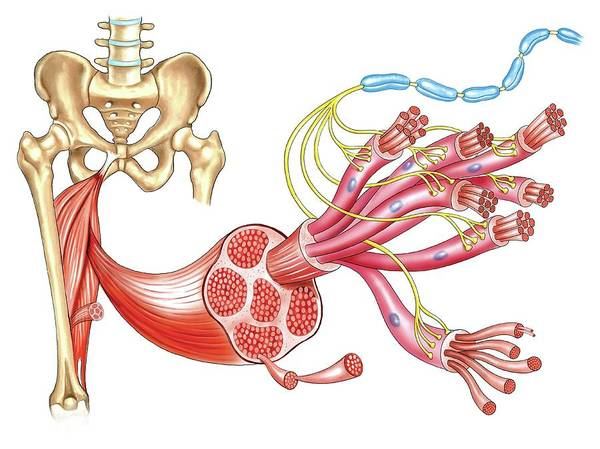Myelin Wall Art - Photograph - Structure Of Skeletal Muscle by Asklepios Medical Atlas