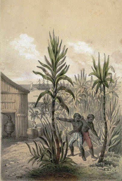 Wall Art - Drawing - Sugar Can Farming, Sugarcane Plantation, Poaceae, Seed by English School