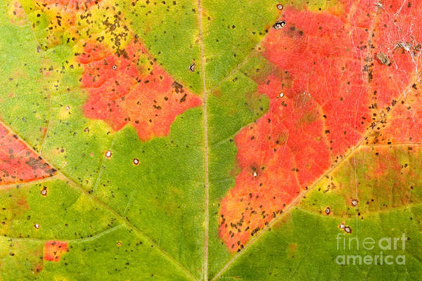 Acer Saccharum Photograph - Sugar Maple Leaf by Gregory G. Dimijian, M.D.