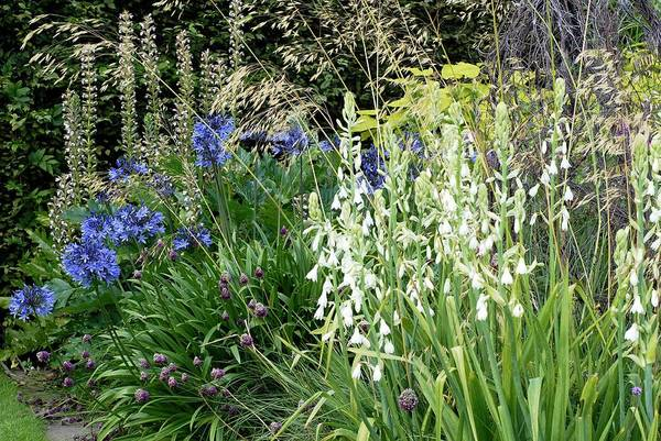 Agapanthus Photograph - Summer Border by Anthony Cooper/science Photo Library