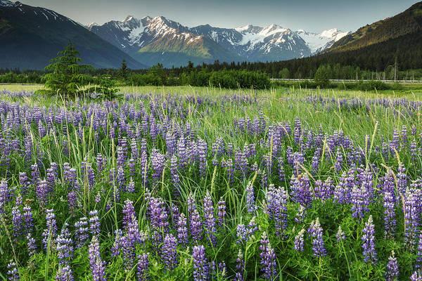 Summer Landscape Of Lupine Flowers Art Print